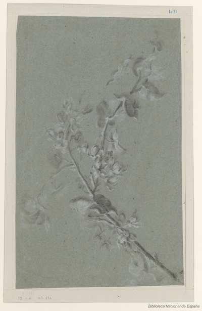 [Rama con flores y bayas de un arbusto florido] [Material gráfico]