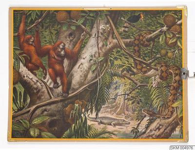 Image from object titled plansch, skolplansch, Djurliv  från Borneo (Brödfruktträd med orangutanger)