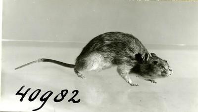 Image from object titled Een opgezet volwassen exemplaar van Rattus norvegicus Berkenhout, 1759 (Bruine rat).