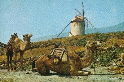 Camellos Tipicos Del Paisaje De Las Islas Canarias Espana Tarjeta