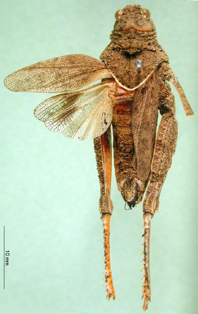 Asiotmethis limbatus motasi Ramme, 1951