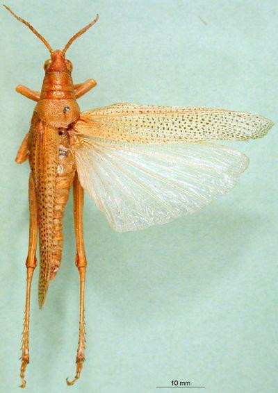 Poekilocerus calotropidis Karsch, 1888