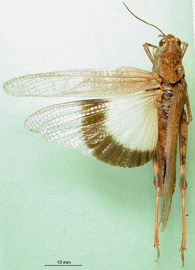Scintharista formosana Ramme, 1941