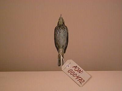 fågel, trädpiplärka