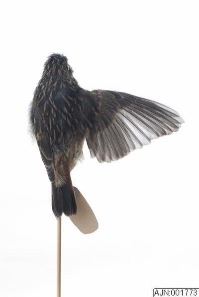 blåhake, fågel