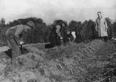 Possibly Mr Carter and Mr Booth digging one of the last local liquorice crops, on Booths Farm, Pontefract.