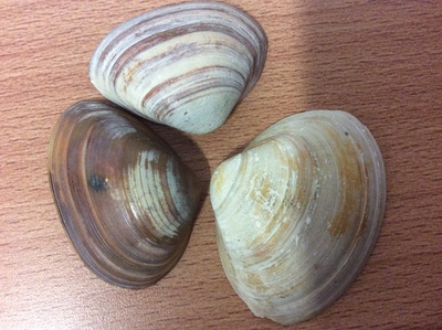 Image from object titled Shells from home