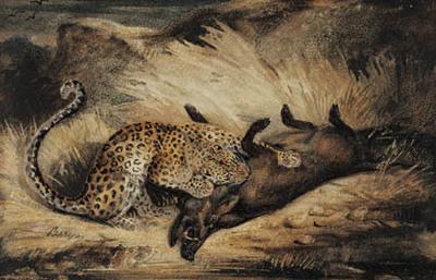 Leopard æder et vildsvin.