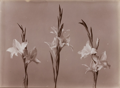 Image from object titled Lilien