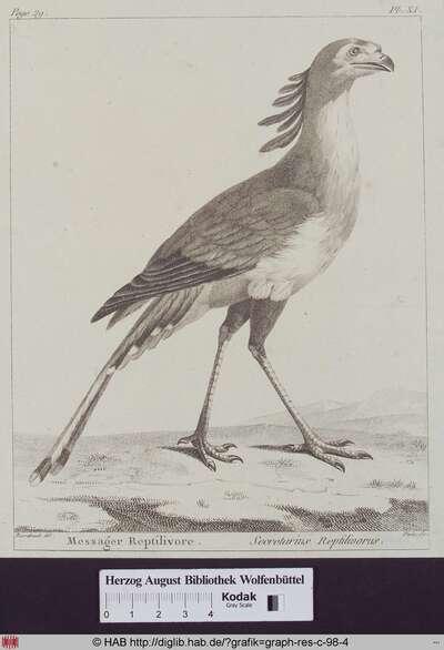 Abbildung eines Secretarius Reptilivorus (Sekretärsvogel).