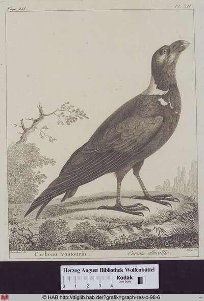 Abbildung eines Corvus Albicollis (Geierrabe).