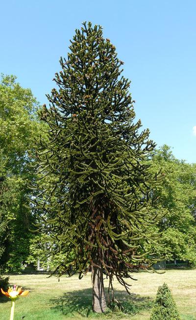 Image from object titled Araucaria araucana (Molina) K.Koch