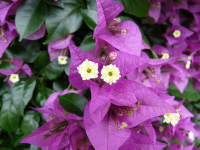 Image from object titled Bougainvillea glabra Choisy 'Sander'