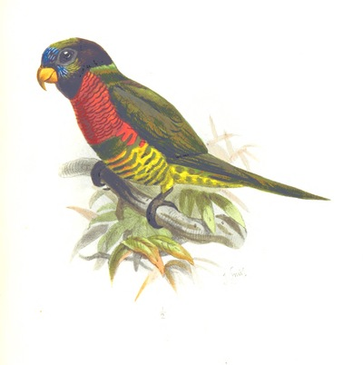 """Image from object titled bird from """"Jottings during the Cruise of H.M.S. Curaçoa among the South Sea Islands in 1865 ... With ... natural history notices [by G. R. Gray, A. C. L. G. Guenther and others]. [With plates and a map.]"""""""