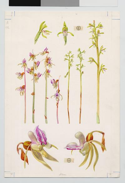 Image from object titled Blattloser Widerbart / Epipogium aphyllum Sw.
