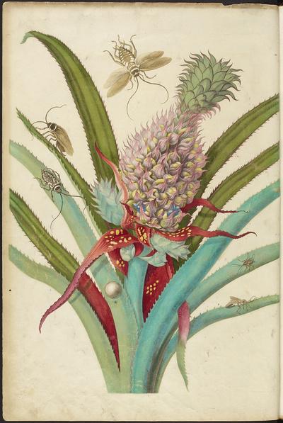 Image from object titled Verandering der Surinaamsche Insecten. De I. Afbeelding. Ananas u. Kakkerlakken