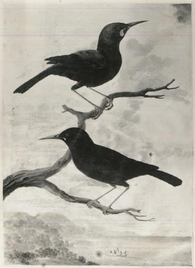 Image from object titled Codex Gothanus membranaceus I 131, Star von Neuseeland (Männchen und Weibchen)