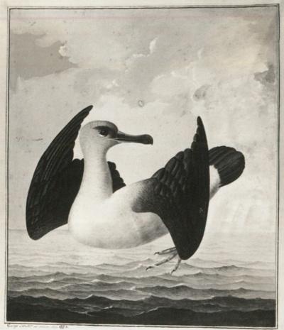 Codex Gothanus membranaceus I 131, Mittlerer Albatros des Südmeeres
