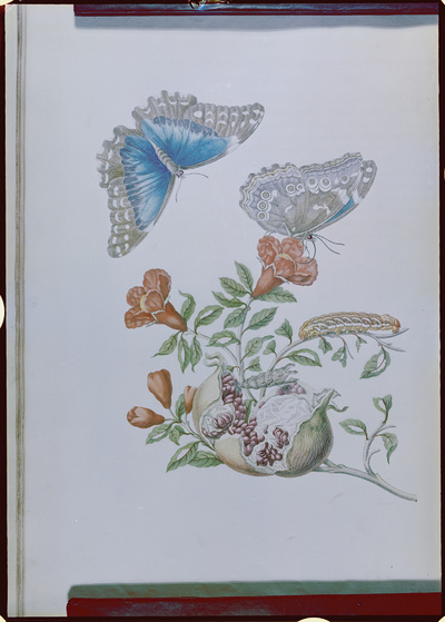 Image from object titled Metamorphisis Insectorum Surinamensium