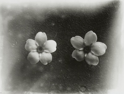 Blütenstand der Pflanze Vergißmeinnicht (Myosotis)