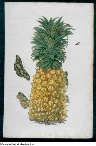 Image from object titled 2 Verandering der Surinaamsche Insecten. De II. Afbeelding. Ananas