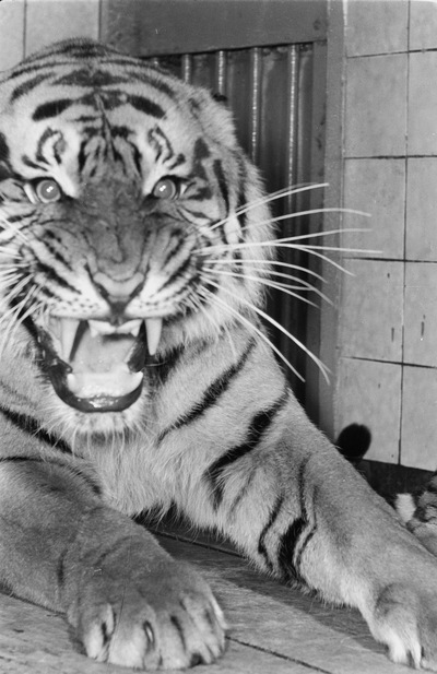 Image from object titled Tiger