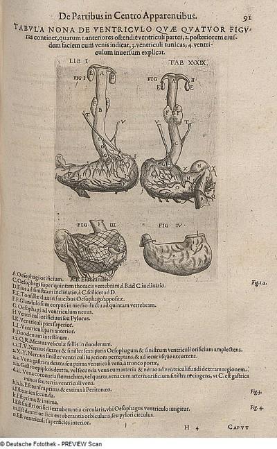 Image from object titled menschlicher Magen mit Speiseröhre
