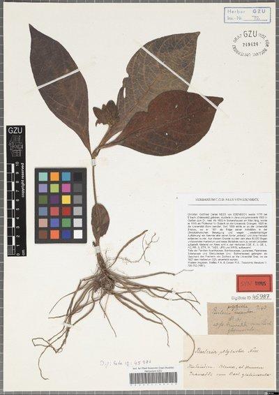 Barleria polytricha Nees
