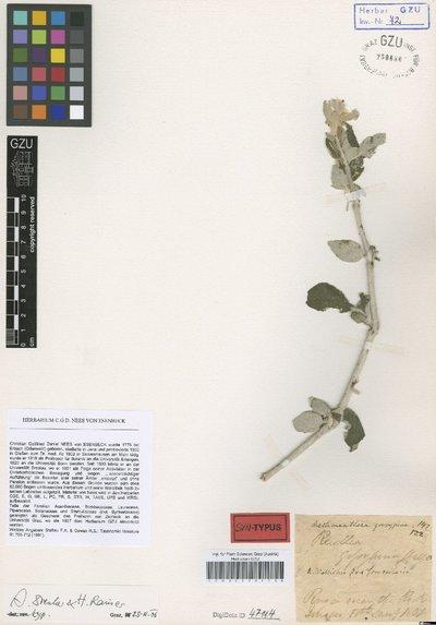 Aechmanthera wallichii f. fomentaria Nees