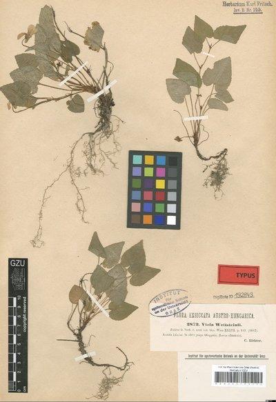 Viola wettsteinii K. Richt.