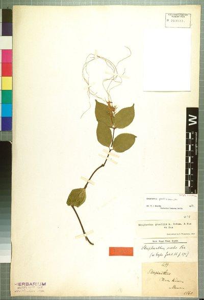 Strophanthus gracilis K. Schum. & Pax