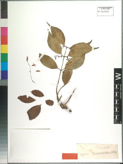 Baissea leonensis Benth.