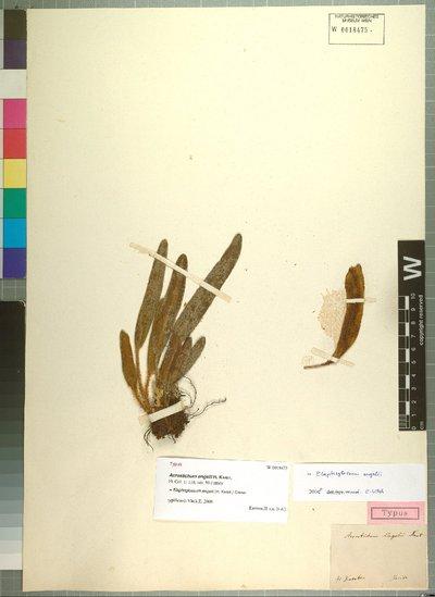 Elaphoglossum engelii (H. Karst.) Christ