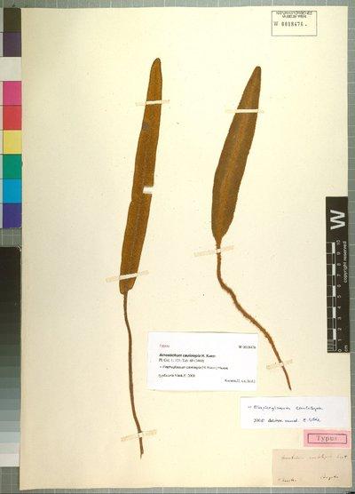 Elaphoglossum caulolepia (H. Karst.) Hieron.