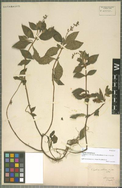 Cuphea setosa Koehne