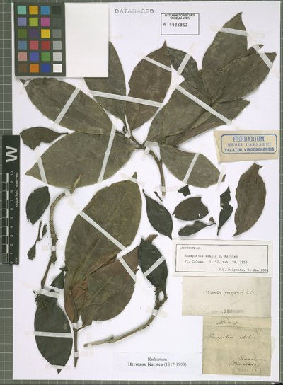 Image from object titled Alibertia edulis (Rich.) A. Rich. ex DC.