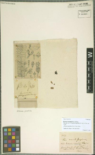 Image from object titled Dichaea laxa (Ruiz & Pav.) Poepp. & Endl.