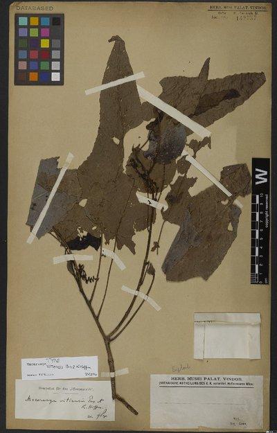 Macaranga vitiensis Pax & K. Hoffm.