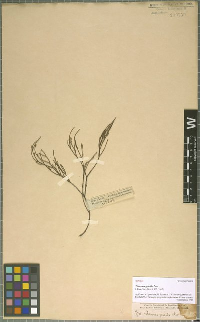 Thamnea gracilis Oliv.