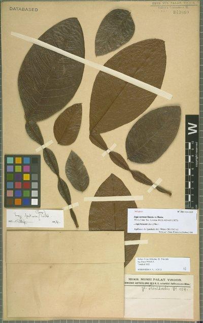 Image from object titled Inga fastuosa (Jacq.) Willd.