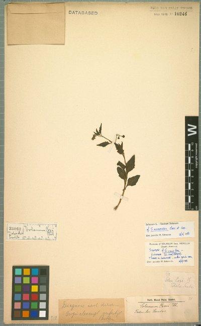 Solanum nigrescens M. Martens & Galeotti