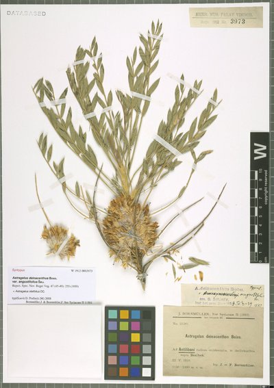 Image from object titled Astragalus oleifolius DC.