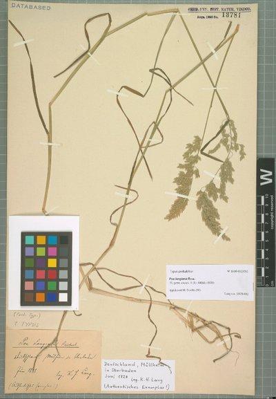 Poa langiana Rchb.