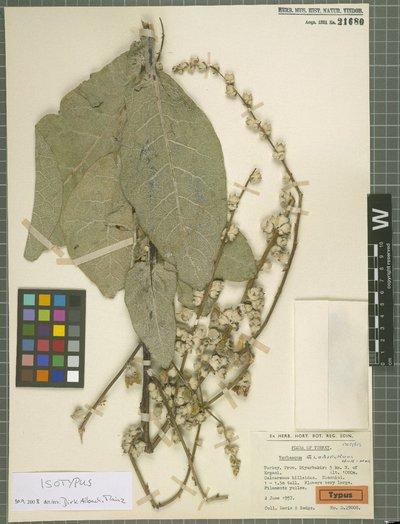 Verbascum globiferum Hub.-Mor.