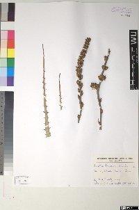 Hechtia texensis S. Watson