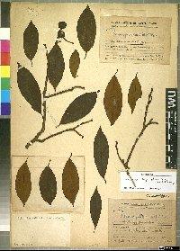 Image from object titled Kadsura longipedunculata Finet & Gagnep.