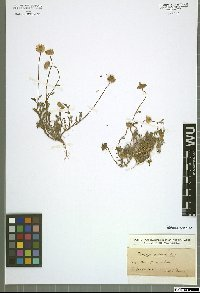 Prolongoa pectinata (L.) Boiss.