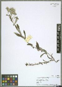 Leontopodium japonicum Miq.