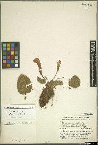 Chirita dielsii (Borza) B. L. Burtt