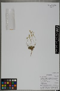 Image from object titled Draba dubia Suter